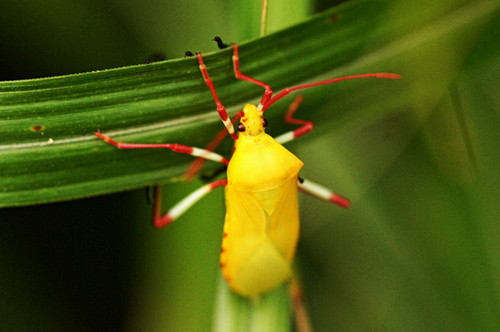 11キバラヘリカメムシ幼虫.JPG
