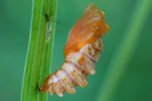 16ジャコウアゲハ蛹.JPG